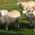 natural insulation, sheep wool, koru architects, eco architects, sustainable design