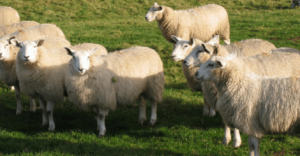 natural insulation sheep wool